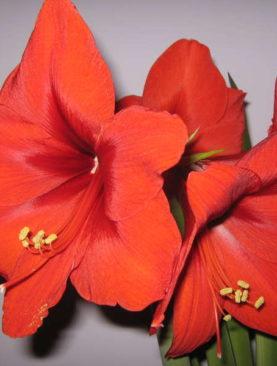 Красный Амариллис Феррари