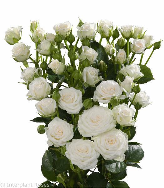 Interplant Roses 100518