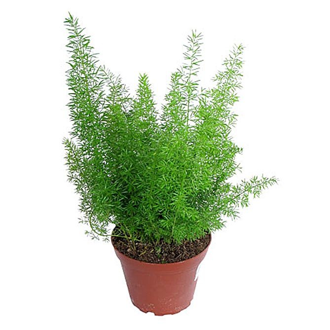 asparagus-88494103608859