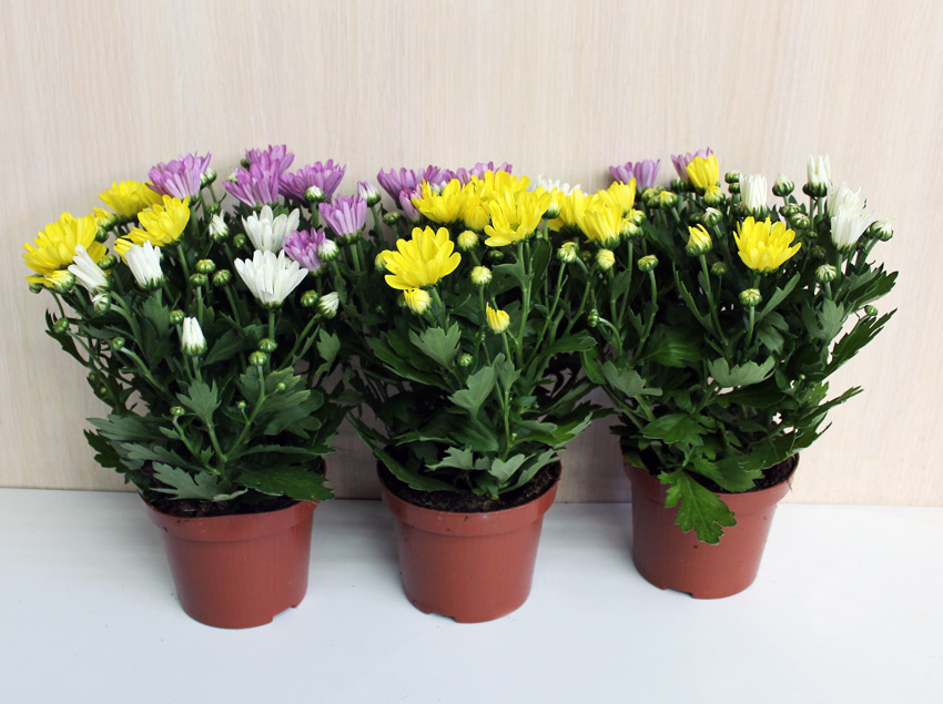 chrysanthemum-mix-d12-25-6