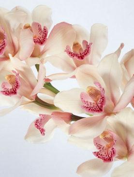 Цимбидиум (ветка орхидеи)