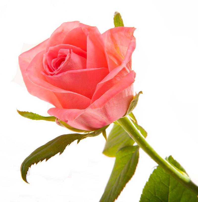roza-miss-piggi-1