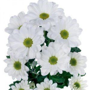 xrizantema-vetka-52099207292000