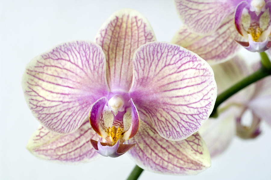 1-phalaenopsis-orchid-phalaenopsis-sp-lawrence-lawry