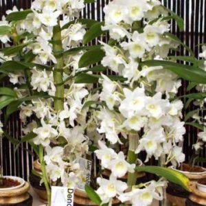 Орхидея-дендробиум-нобиле3-361x500