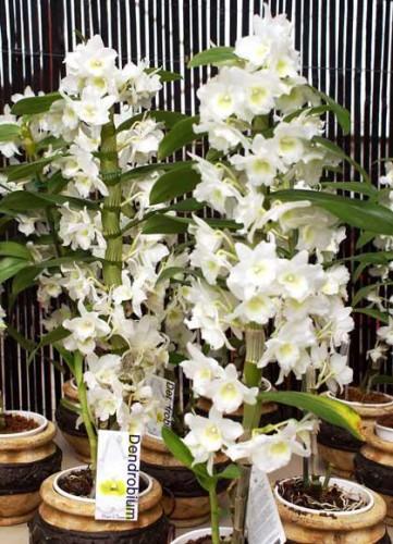 Орхидея-дендробиум-нобиле3-361×500