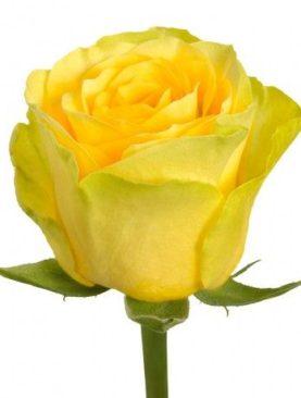 Роза Илиос (высота 80 см)