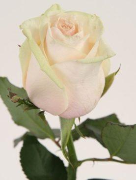 Роза Талия (высота 80 см)