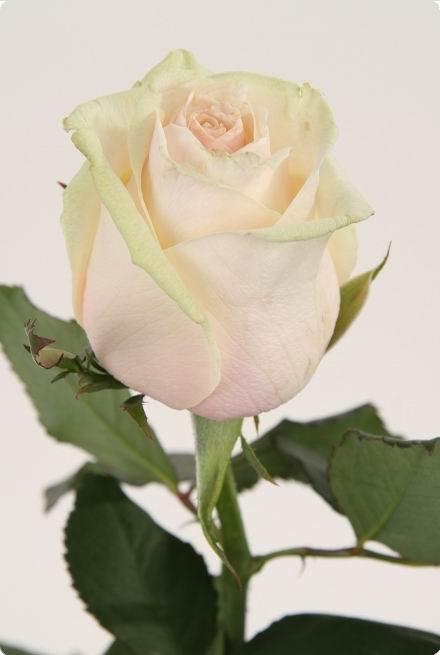 Роза Талия_1