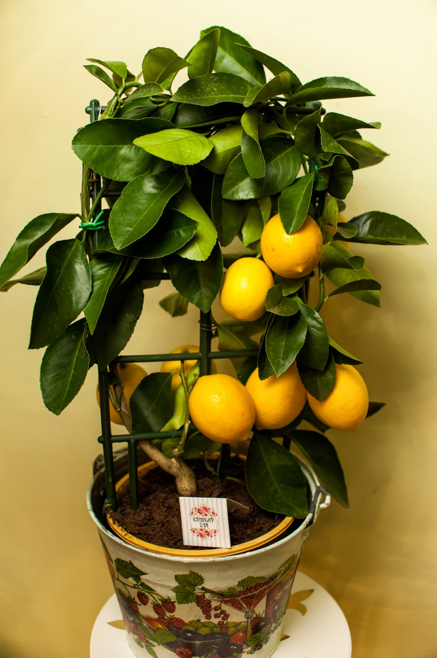 Вазон Лимон